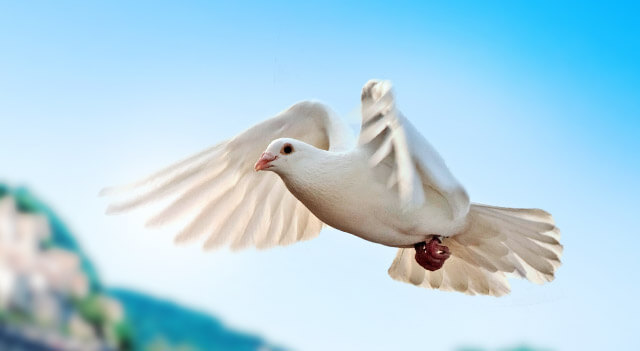 Dove wing Span View Picture