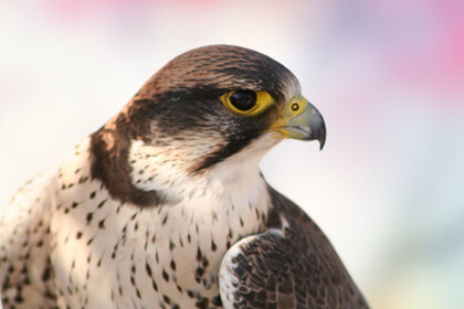 Falcon Fierce