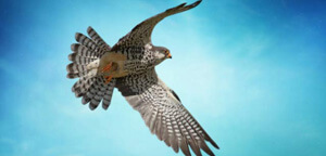 Falcon Flying Sky