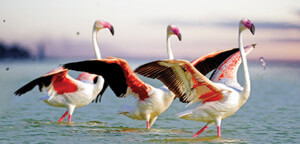 Flamingos in Group