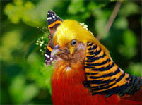 Golden Pheasant Facts And Pictures