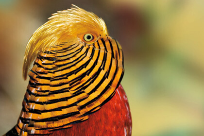 Golden Pheasant Eye View