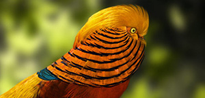 Golden Pheasant Fierce
