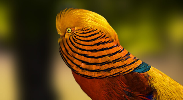 golden pheasant gazing - Cyber Shot Competition May 2014