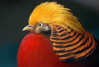 Golden Pheasant Mouth View