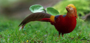 Golden Pheasant On Grass