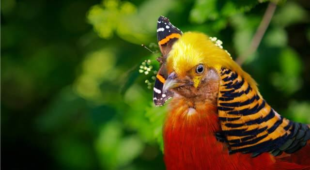Golden Pheasant Some Eat