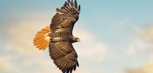 Hawks Are Fly In Sky Picture