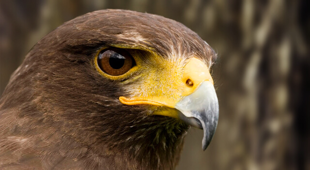Hawks Bird Are Face View Picture