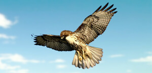 Hawks Bird Are Wing Span