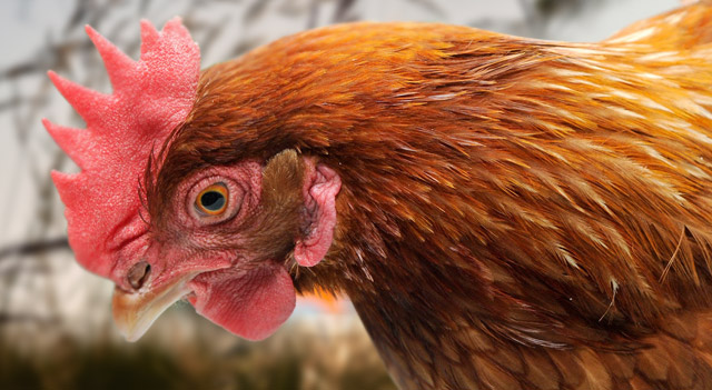 Facts about Hens with Pictures