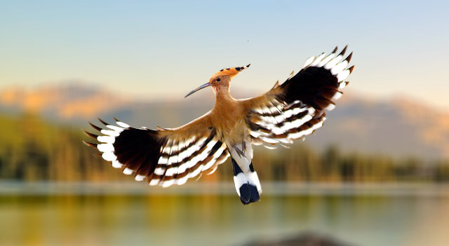 Hoopoe Bird Facts About Diet Distribution And Habitat
