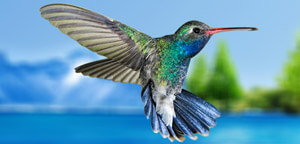 Hummingbird Flapping Wings During Flight