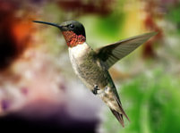 Hummingbirds Facts And Pictures