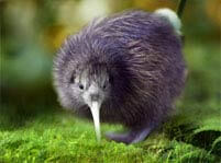 Kiwis Facts And Pictures