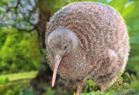 Kiwis Birds Mouth View