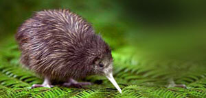 Kiwis Birds On Leaf