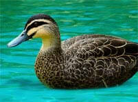 Masked Duck Facts And Pictures