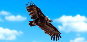 Monk Vulture Flight