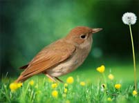 Nightingale Facts And Pictures