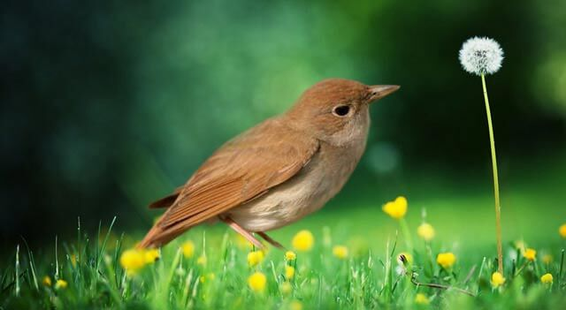 Nightingale On Grass