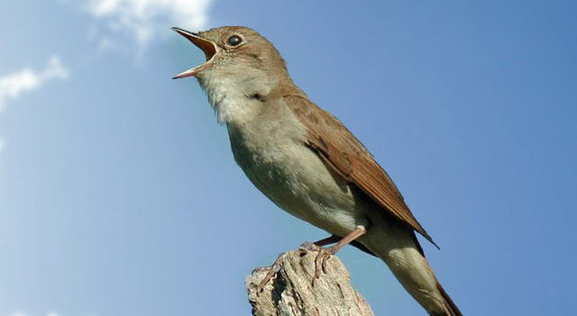 nightingale bird facts pictures and information
