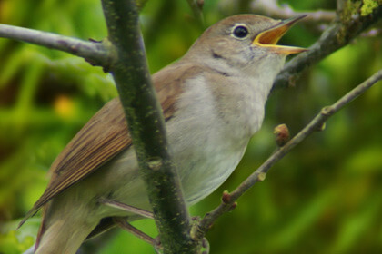 Nightingale Sitting On Tree Branch