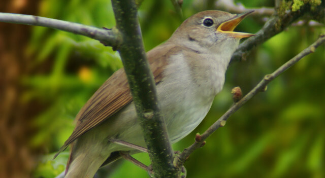 on finding nightingales in human voices essay Transitioning: beware of velcro you bring an armful of stones to lay down and step on as you go each stone is a sentence or paragraph that speaks to and develops the essay's thesis, or central question.