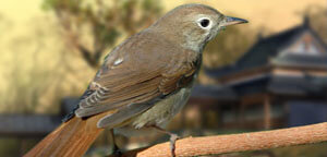 Nightingale Sitting On Wood