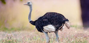 Ostrich Bird Long Neck View