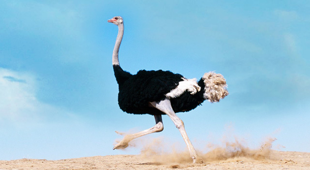 Ostrich Bird Running In Desert Area