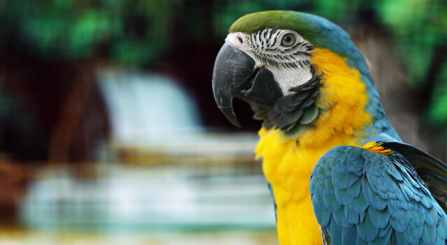 Parrot Bird Facts, Pictures, Types and Habitat