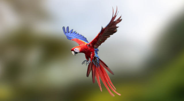 Parrot bird flying