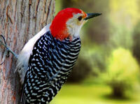 Woodpeckers Bird Facts