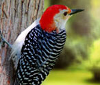Woodpeckers Facts