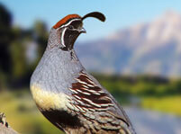 Quail Facts
