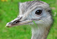 Rhea Bird Beak View