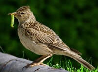 Skylark Facts And Pictures