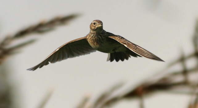 Skylark Bird Picture
