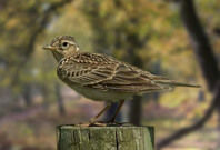 Skylark Bird Sitting View