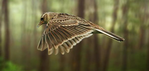 Skylark Bird Wingspan