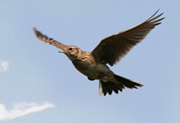 Skylark Flying Sky