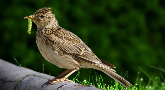 Skylark On Wood
