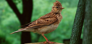 Skylark Sitting On Wood
