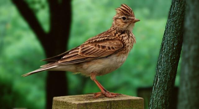 Image result for facts about skylarks