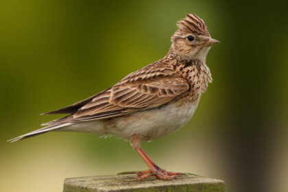 Skylark Sitting Wood Are Fierce