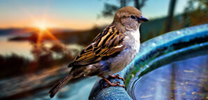 Sparrow Bird Picture