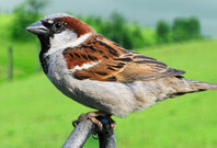 Sparrow Sitting On An Iron Pipo