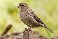 Sparrow Sitting On Wood Are Fierce
