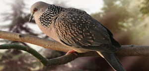 Spotted Dove Picture